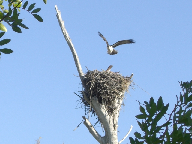 osprey flies to nest