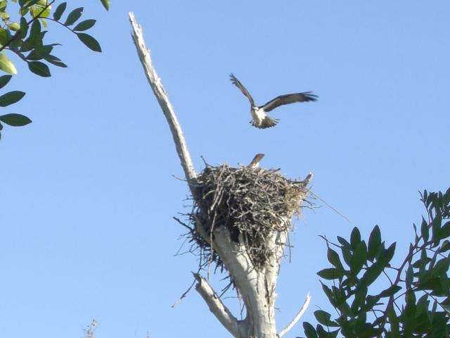 osprey flies to nest