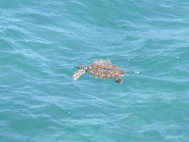 sea turtle Lake Worth