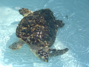Turtle Hosp- Anita