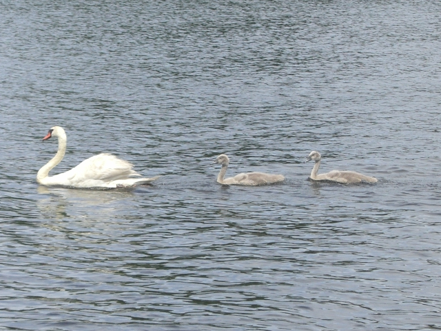 Swan and goslings
