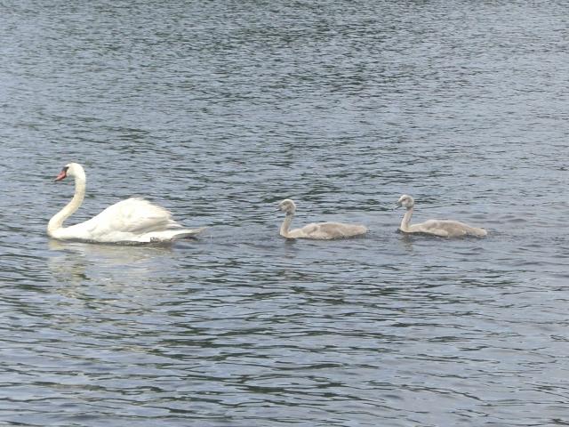 Swan and goslings