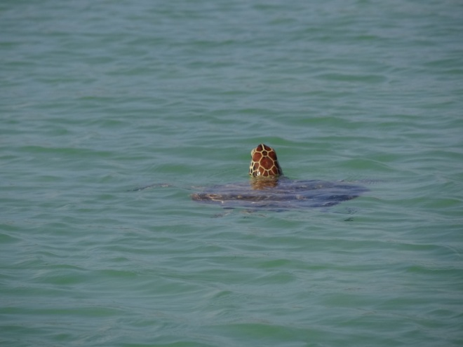 My best green turtle shot. Good thing the camera is digital!