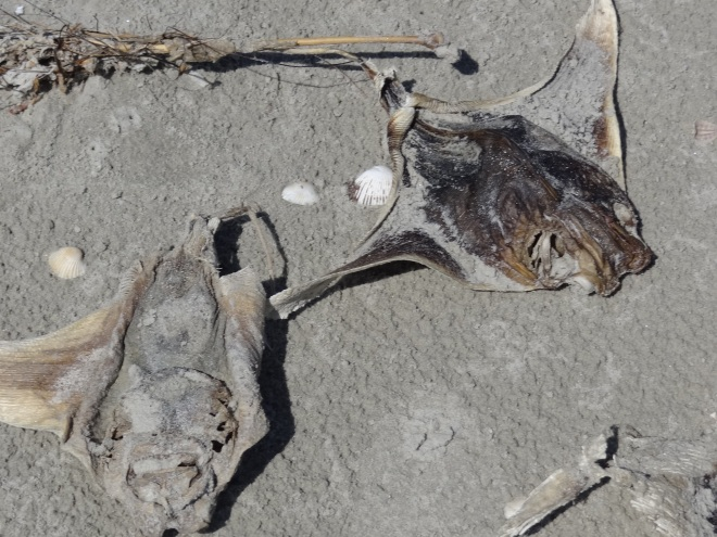 Many, many dead eagle rays recently washed up: cause TBD