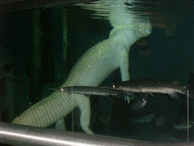 Albino gator at aquarium- so creepy- floating like that