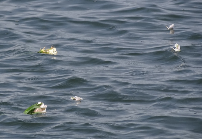 Scattered flowers for Dad Rackliffe- float on.