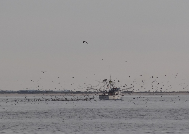 The shrimp boats sure catch a lot of seagulls! We are two miles to Cape Lookout