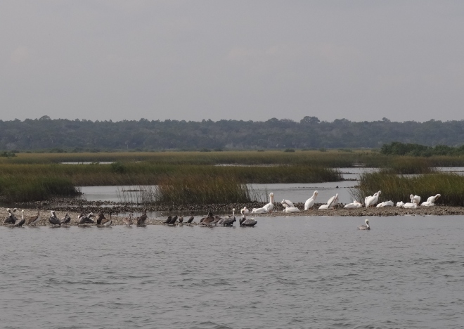 Two types of pelicans, each on their own side- Russ warned me not to say anything about segxxxxxxxn
