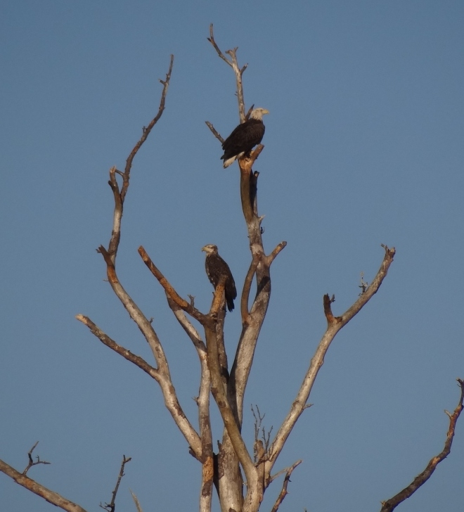 Osprey and eagle share a prime perch