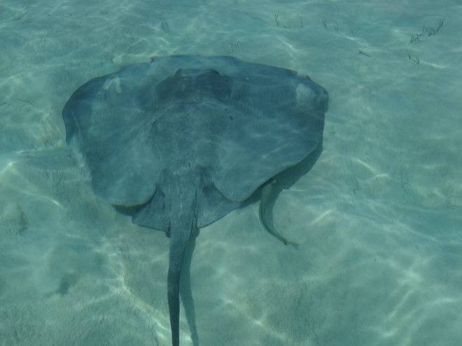 This stingray had a remora friend along for the ride