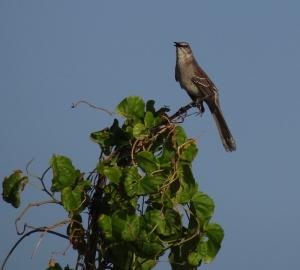 bahamian bird