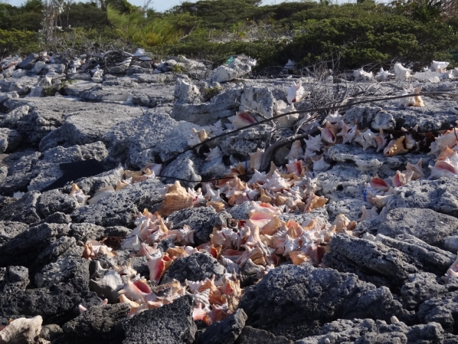 Many discarded conch shell piles dot  Pipe Cay's east side beach