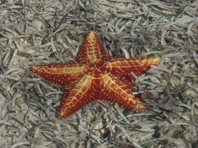 This large sea star was easy to spot in shallow, clear water close to the beach