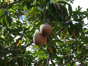 A sapodilly tree and the round, edible fruit. Apricot colored, tasted like a guava/kiwi blend. We took two home to ripen