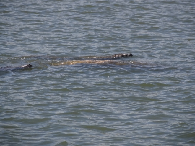Almost looked like gators, but when they moved, you knew they were manatees
