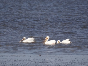 """At first glance we thought """"swan?"""", but no, just white pelicans acting like swans"""