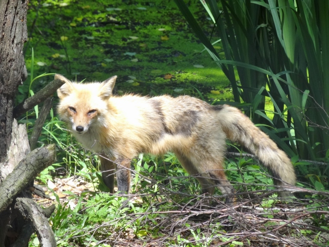 I waited for Mr Red Fox to step out from the tall grass. Isn't he cute?