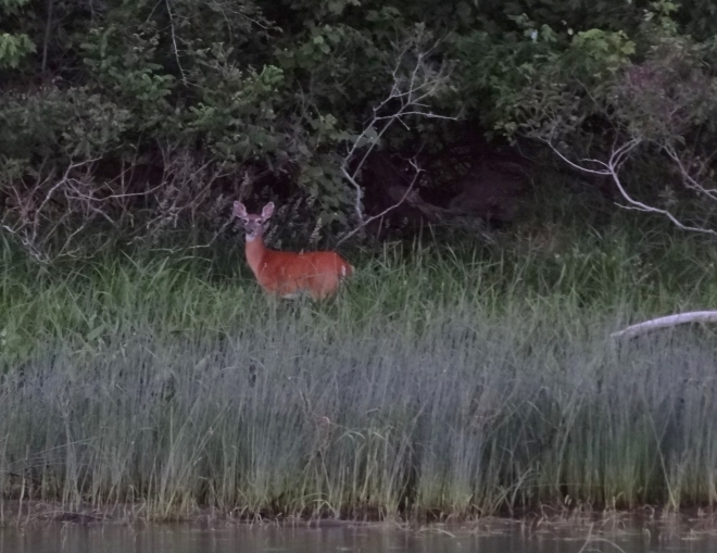 Caught mama deer, the fawns moved into the trees while she watched me