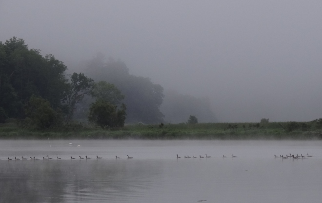 A rare foggy morning- the geese love to do that line thing