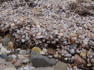 Amber waves of shells- pile up at the high tide line