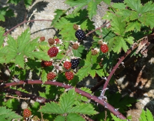 Lovells was loaded with these. Black raspberries perhaps? Tart- I tried one