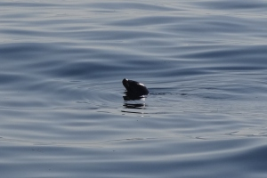 Finally! A seal photo - taken between Boothbay and Pemaquid