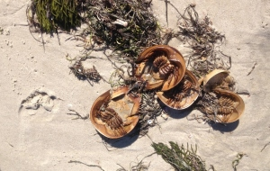 Hundreds of dead horseshoe crabs lined the south shore beaches