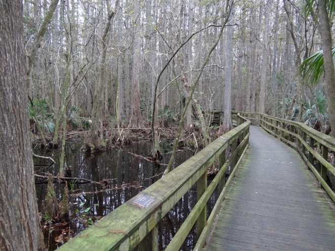 This boardwalk reduced to a catwalk as it wound through the swamp and Bowlegs Creek