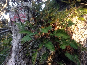 Resurrection fern on a live oak