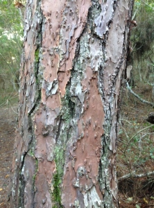 A Slash Pine. The bark sheds off in layered pieces