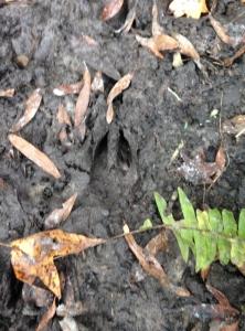 Evidence of wild hogs