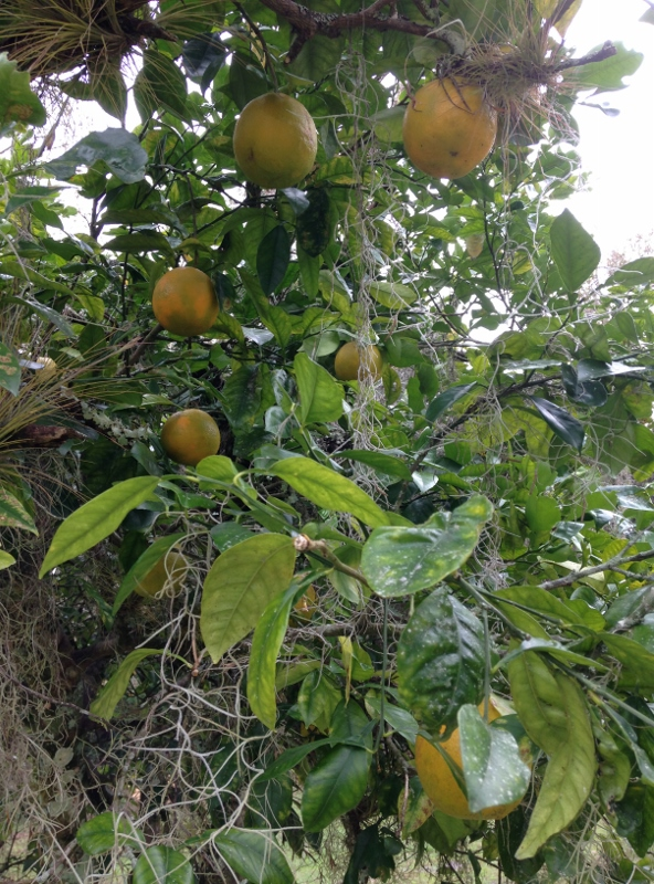 One of many wild orange trees