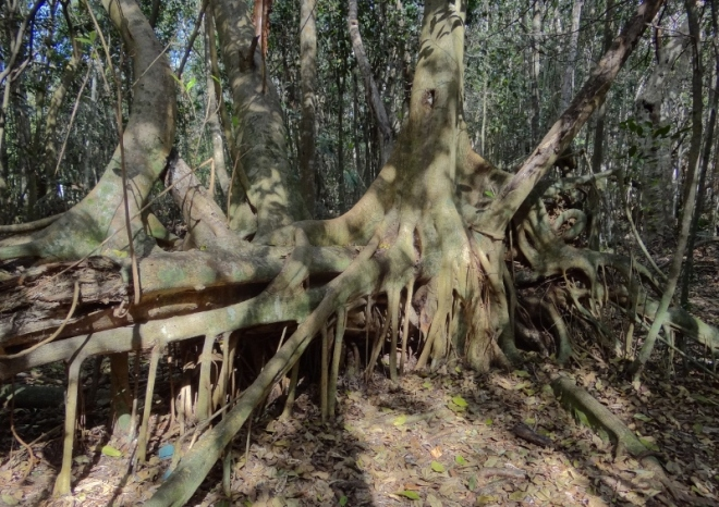 A humungous Strangler Fig covers a fallen host tree