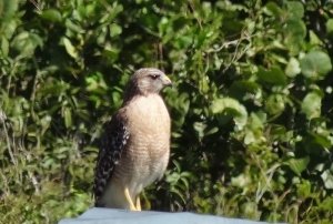 Red shouldered hawk- the paler south Florida version