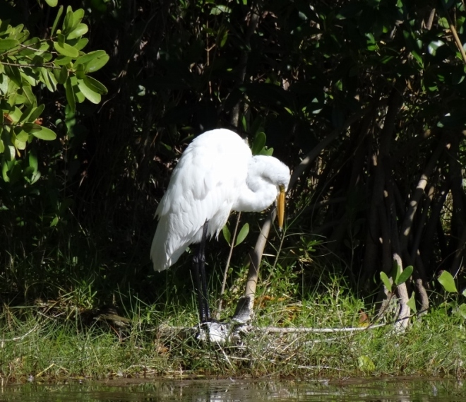 This Great Egret is not behaving for the photograhers