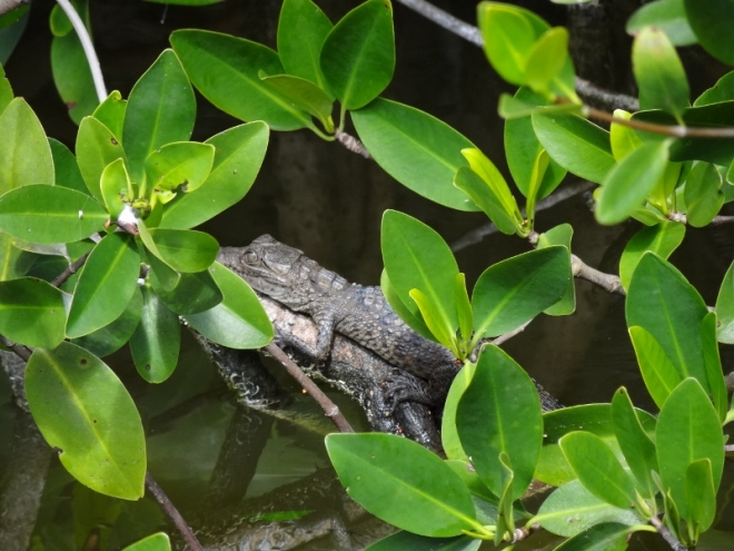 Mangroves offer baby gator needed protection