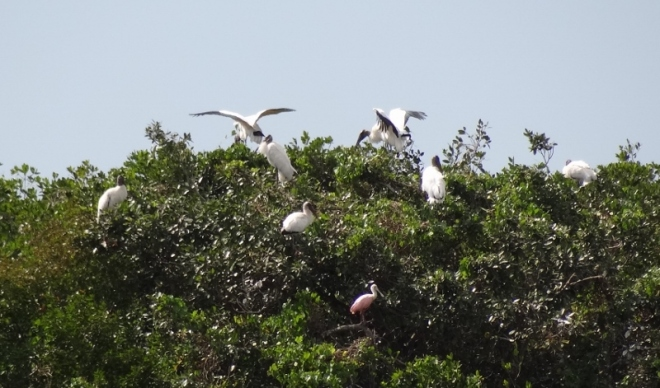 Wood storks and one roseate spoonbill