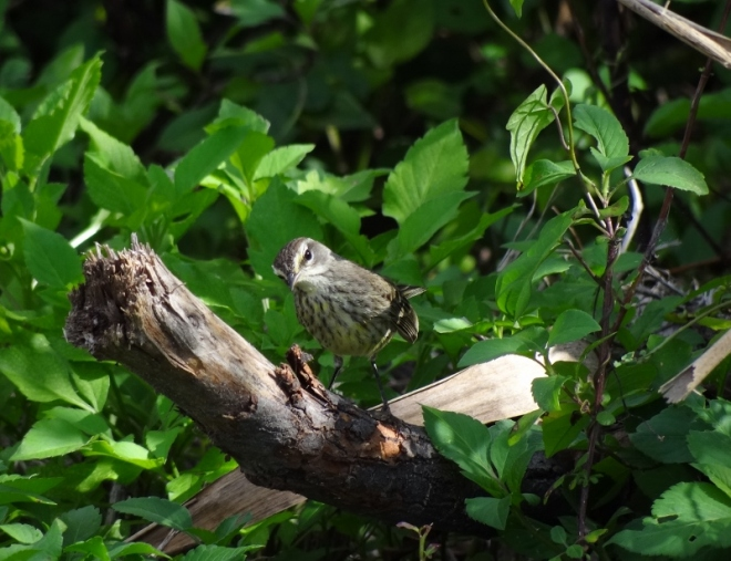 This warbler was the smallest bird we saw in the park