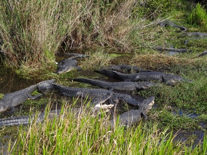 Gators lounge about in the sun along the Anhinga Trail