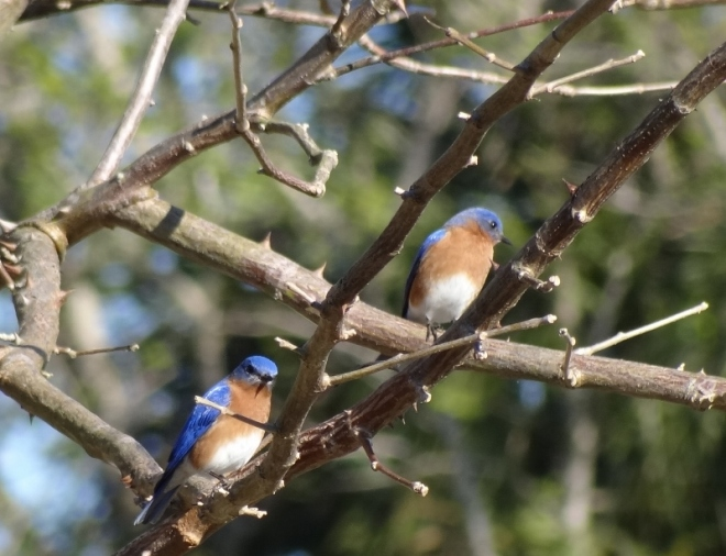 Eastern Bluebirds- not commonly seen in these parts
