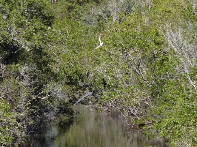 Egret and heron in flight. I am always thrilled to get an action shot