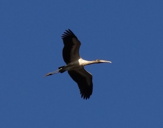 My parting shot- a wood stork in flight