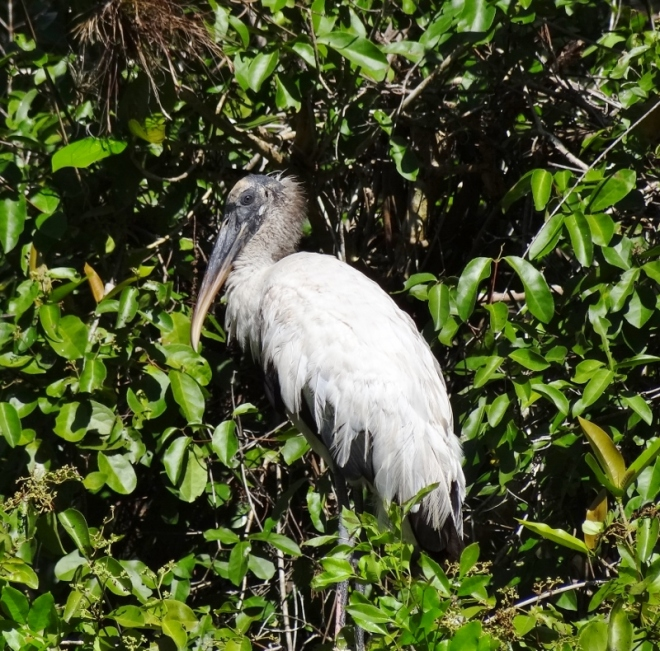 Wood stork- in a tree