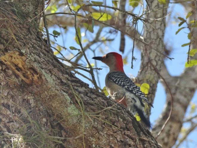 Red-bellied woodpecker in that old tree