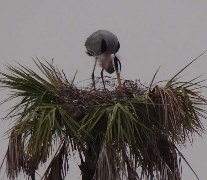 This great blue heron enjoys a tree top snack