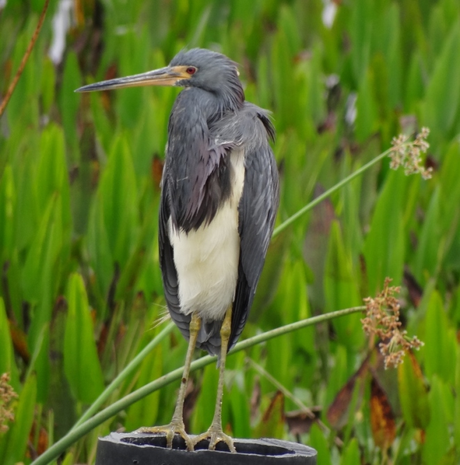 A tricolor heron- front view, neck in