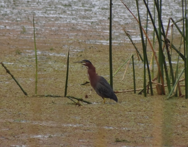 This green heron- bet you expected something better- but wait...