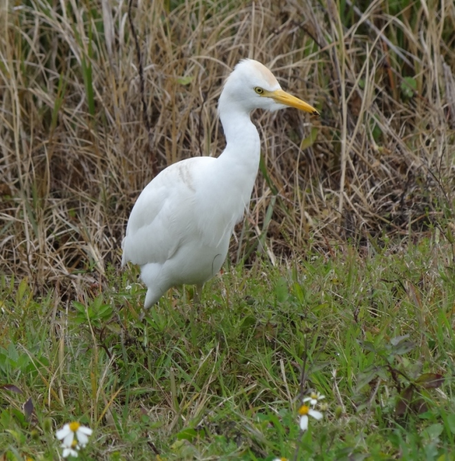 Cattle egret- I finally get one for sure