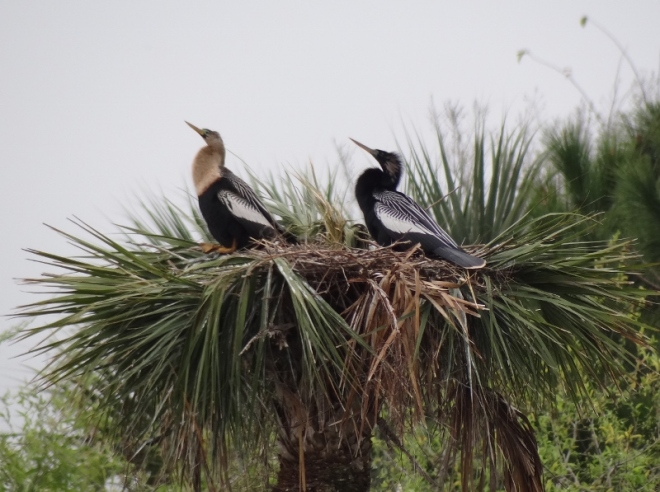 Anhinga couple; perfect mates