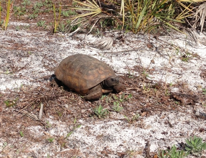 A gopher tortoise out of his/her burrow for a stroll or maybe lunch